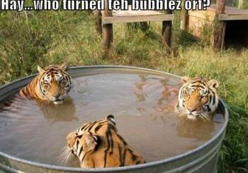 3-tigers-in-a-tub
