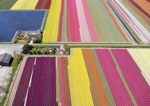 tulips353-3