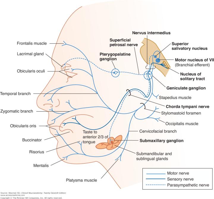 Cranial Nerve 8 Sensory Or Motor Caferacersjpg