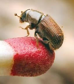Bark beetle outbreak may be signal of larger shift – Union Democrat Article