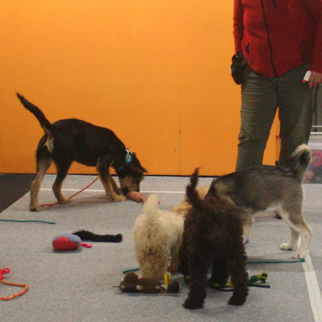 Puppies exploring new toys at Puppy Playcentre