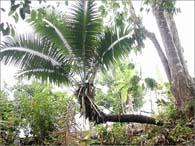 LA TAGUA (Phytelephas aequatorialis)