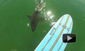 Shark_sighting_el_Porto_ManhattanBeach