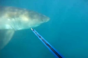 San Clemente Spearfisherman Attacked by Great White Shark