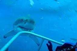 Watch – Great White Shark Comes Face To Face With Diver