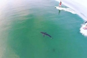 Watch SUPer Run Over Great White Shark in Manhattan Beach