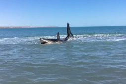 Massive 15-foot White Shark Awashes in Baja, California