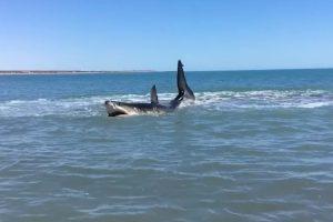Massive 15-foot White Shark Awashes in Baja, California