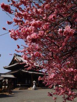 cerisiers en fleur au Japon hanami - 03
