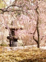 cerisiers en fleur au Japon hanami - 12