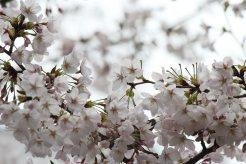 cerisiers en fleur au Japon hanami - 17
