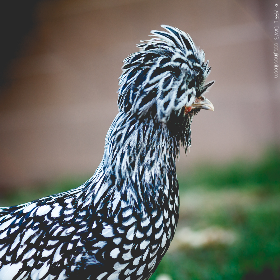 CARING FOR BACKYARD CHICKENS