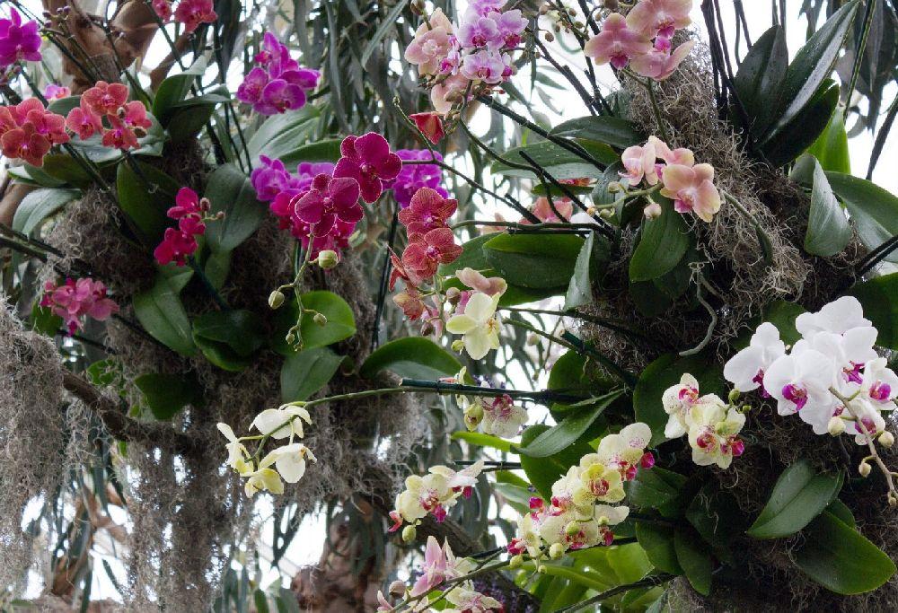 De ce putrezesc rădăcinile și se zbârcesc frunzele la orhideea Phalaenopsis?