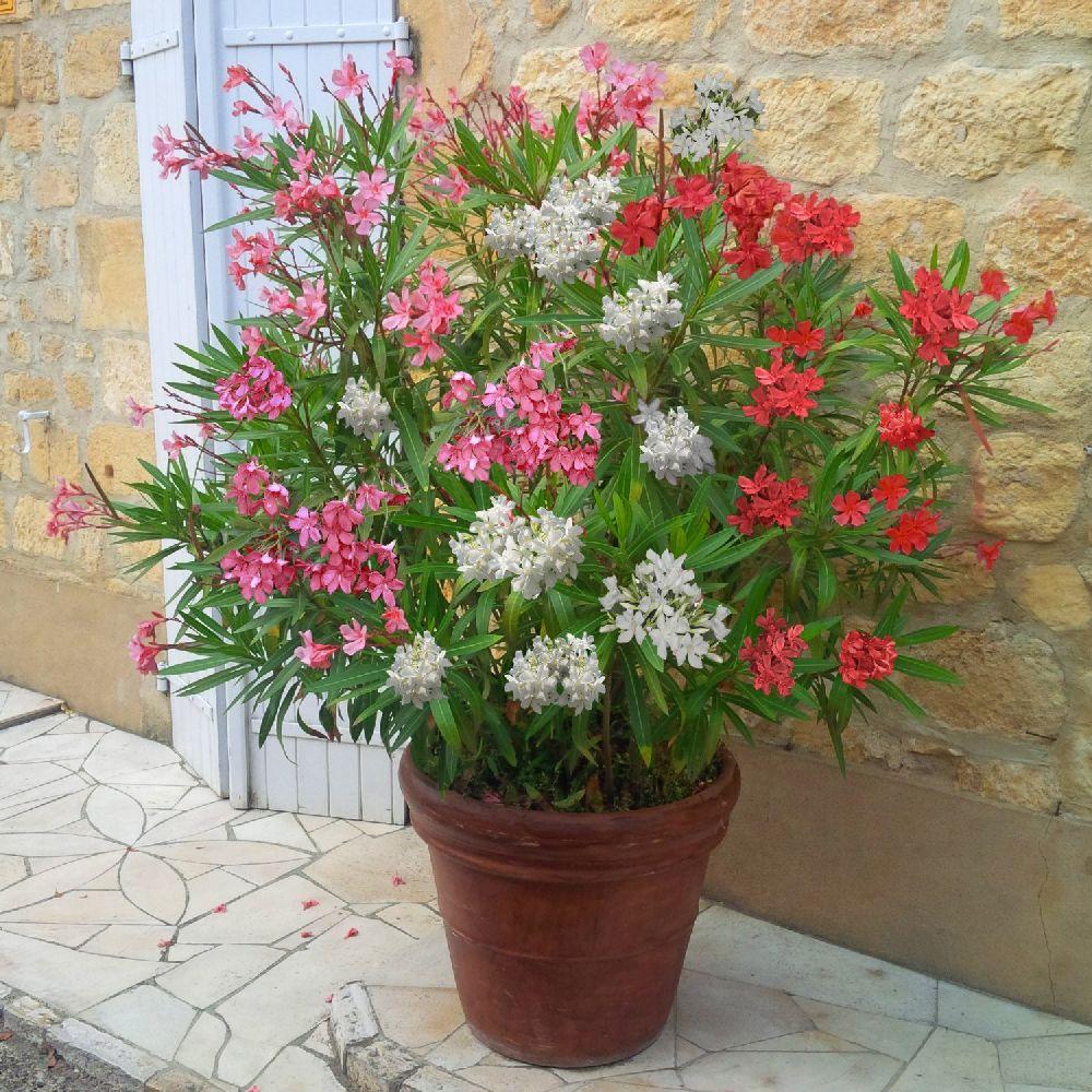 adelaparvu.com despre Nerium Oleander, leandrul potrivit in gradina si pe balcon, Text Carli Marian (5)