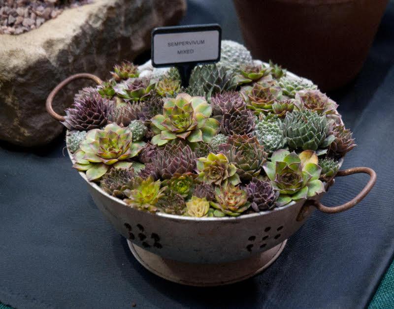 adelaparvu-com-despre-plante-suculente-rezistente-la-frig-text-carli-marian-8