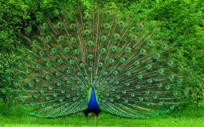 Peafowl (genus Pavo) – Our Wild World