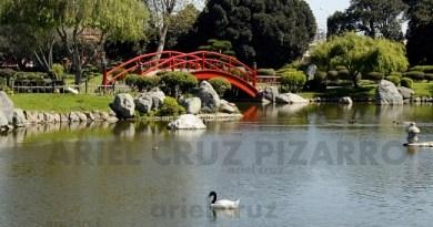 cisne de cuello negro - jardín japonés - la serena