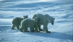 Polar Bears: Up Close and Personal