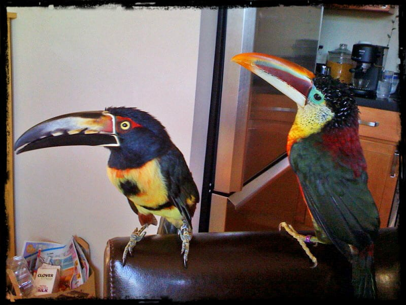 Large vs  Small Toucans as Pets   Adventures in Toucanland