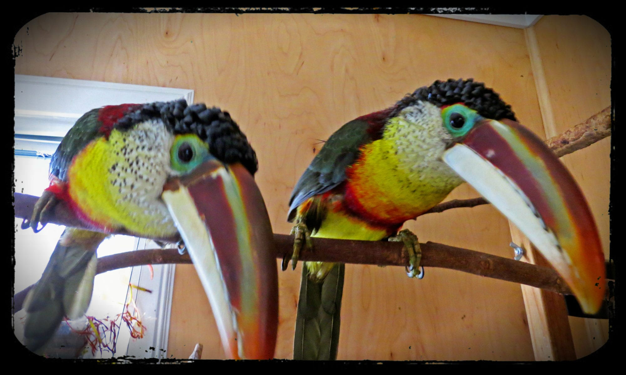 The Curl Crested Aracari Crew   Adventures in Toucanland