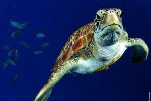 thailand-scuba-turtle