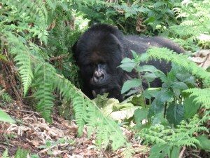 20160801-rwanda-gorillas-close-tmrc (56) (Large)