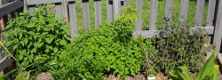 Small Of Is Basil A Perennial
