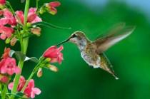 flores-que-atraem-beija-flor