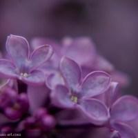 Le doux parfum du lilas
