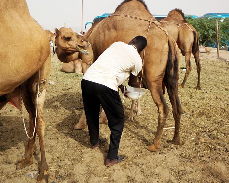 Large Of Camel Camel Camel