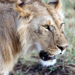 ヌーの大移動は見逃せない!ケニアで絶対押さえておきたい、マサイマラ国立保護区の3つの魅力!