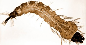 This photograph depicts an anopheles stephensi mosquito larva