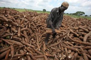 A local worker gathers harvested cassava at Graham Hatty's f
