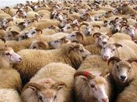 Le marché du mouton commence à retrouver son calme après la mis en vente du premier lot des 75 000 têtes importées de Roumanie.