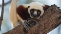 Island of Lemurs: Madagascar - Unknown - A documentary that follows Dr. Patricia C. Wright's mission to help lemurs, the highly evolved creatures who arrived on Madagascar millions of years ago as castaways but are now highly endangered.