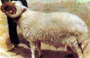 """أكادير:""""فراقشي"""" يسرق خروفا بطريقة طريفة والمقبلون على صلاة تراويح الفجر يفسدون خطته بأكادير"""