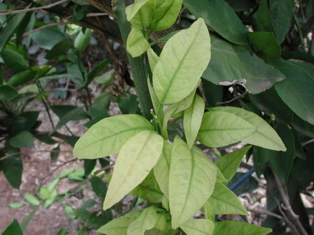 Deficiencia de nitrogeno en citricos