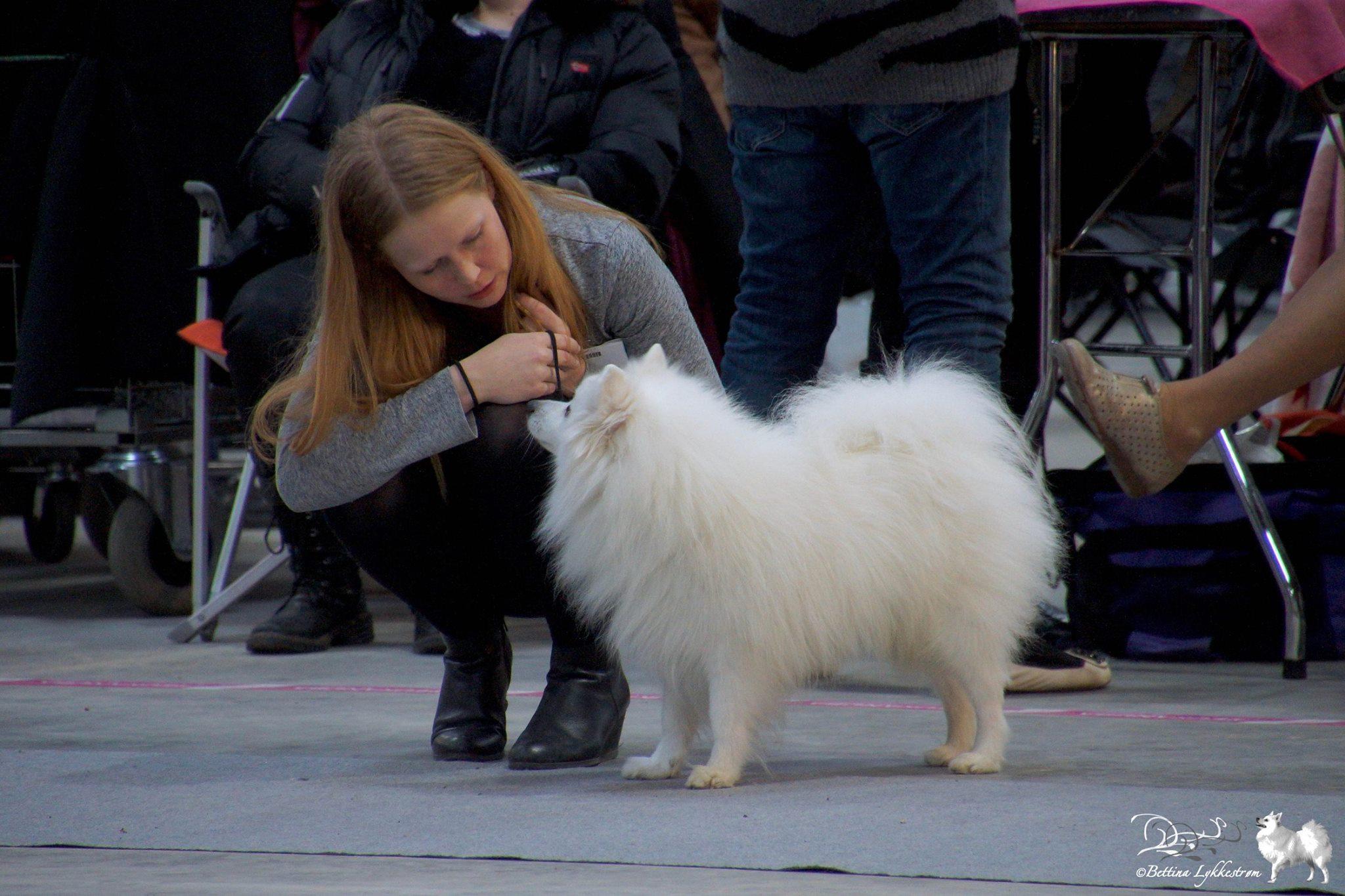 Vores hunde er faktisk meget venlige og afbalancerede hunde, og jeg kan slet ikke kende dem, når de udviser så stor aggression overfor hinanden. Her: Kioko på udstilling, hvor jeg søger at få kontakt