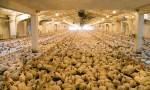 organic poultry farm