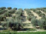 El precio de la tierra de olivar baja, el presupuesto general sube.