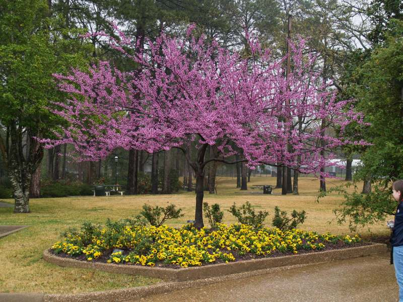 Large Of Forest Pansy Redbud