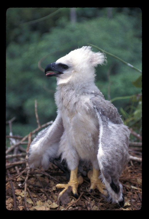 Harpy Eagle Chick 1