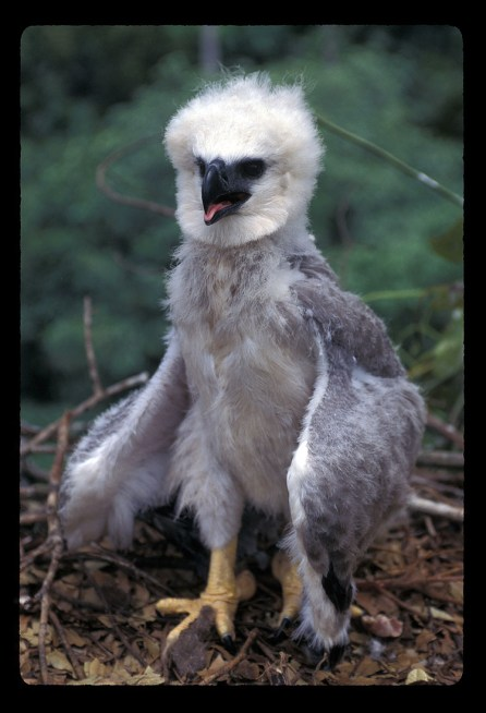 Harpy Eagle Chick 2