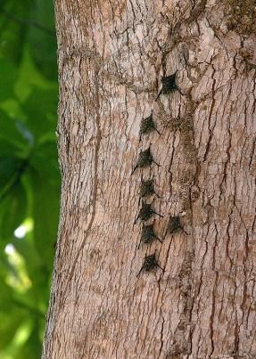 Panama Bats