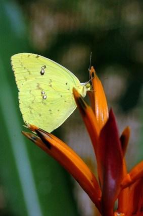 Panama Butterfly 1