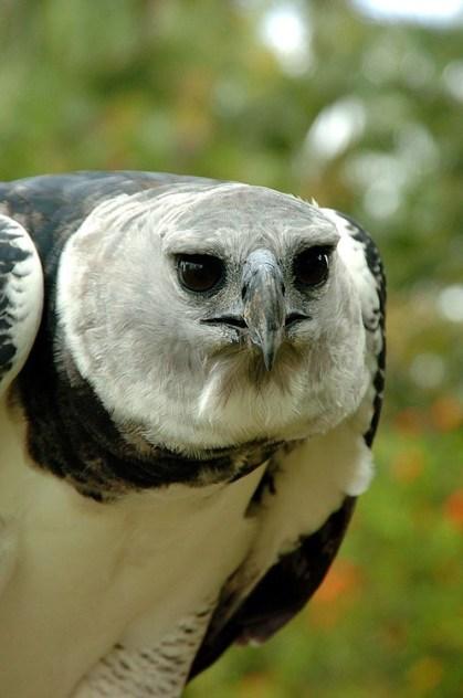 Panama Harpy 2