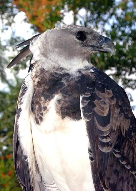 Panama Harpy 28