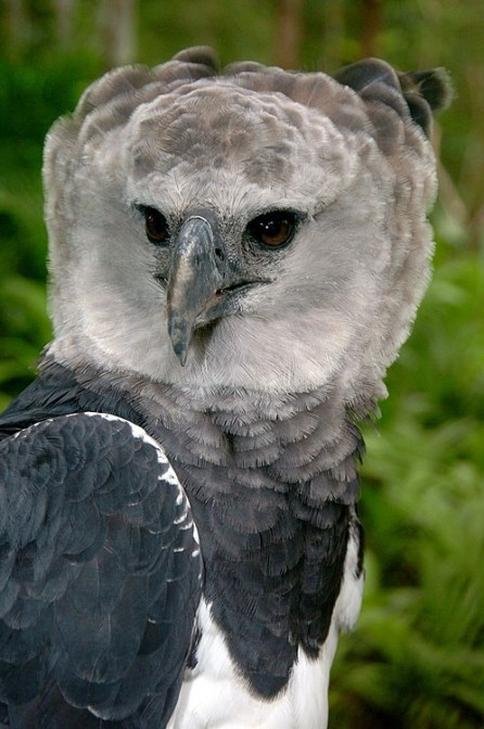 Panama Harpy 8