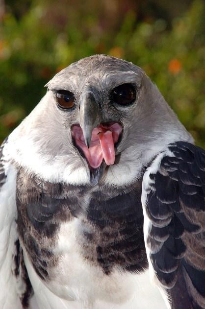 Panama Harpy Calling