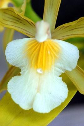 Panama Orchid 2